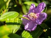 Flowers of Hawaii - Hilo and Paho'a